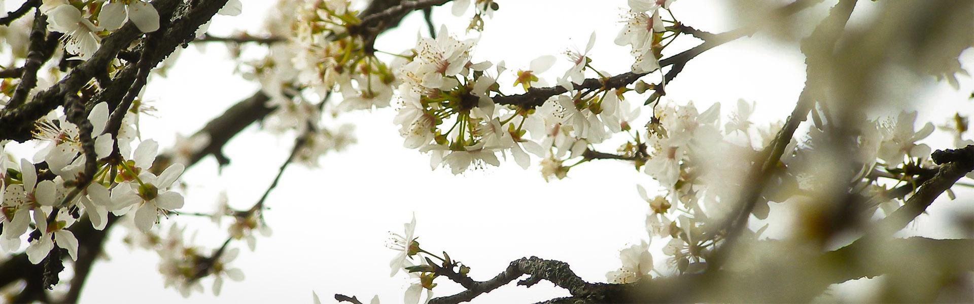 Mirabellenblüten als Symbol der inneren Gesundheit